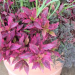 alternanthera, brazilian red