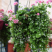 bacopa with geraniums