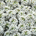 alyssum, clear crystal white