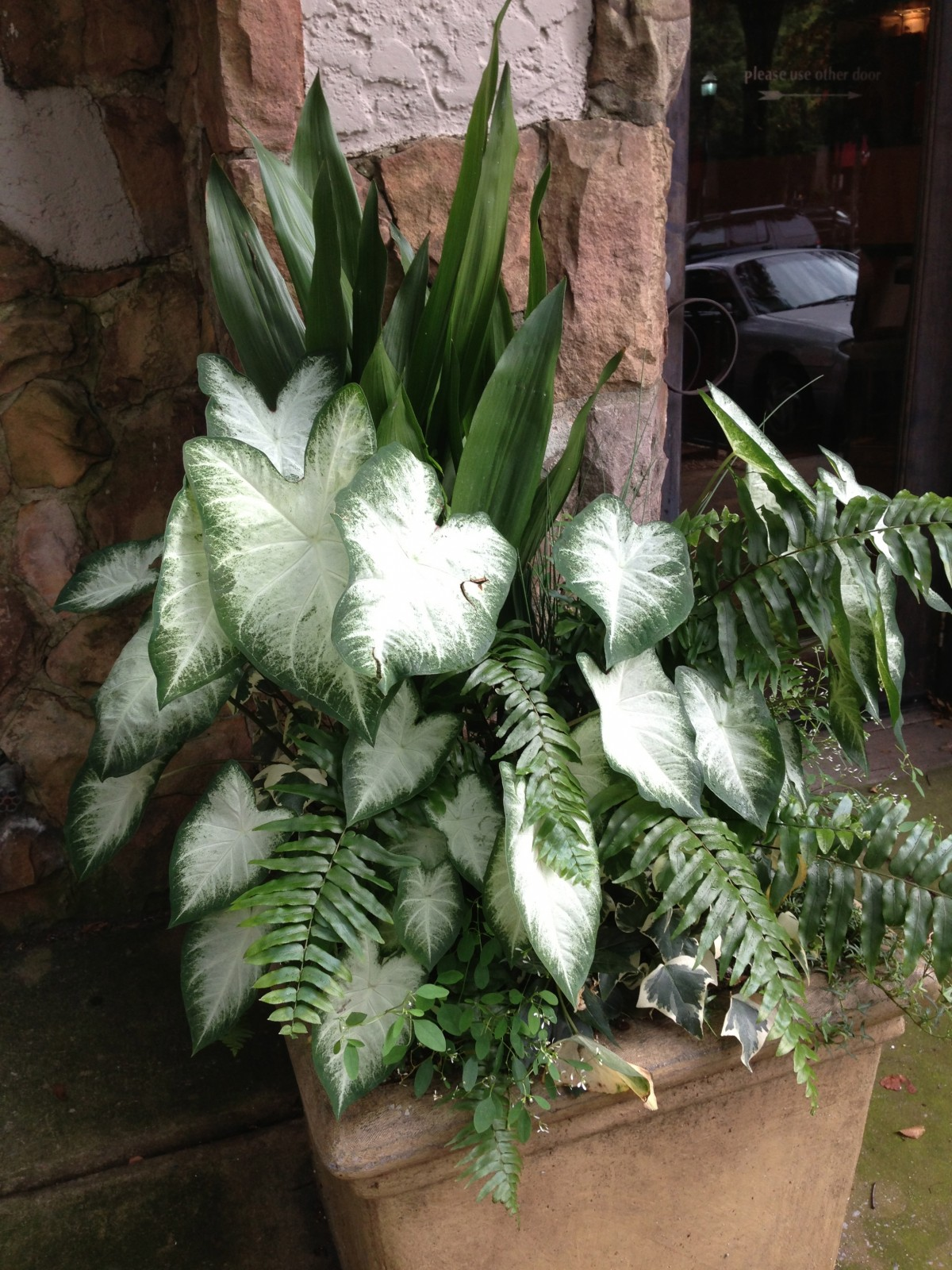 white caladium aaron with other shade foliage