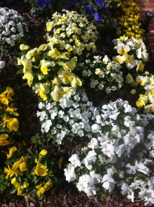 pansies and violas mixed - different flower sizes add texture and interest