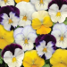 pansy, cool wave, mix