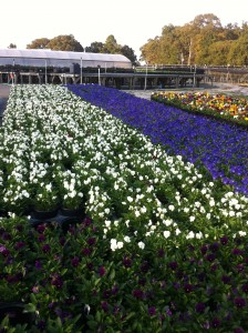 fall viola production