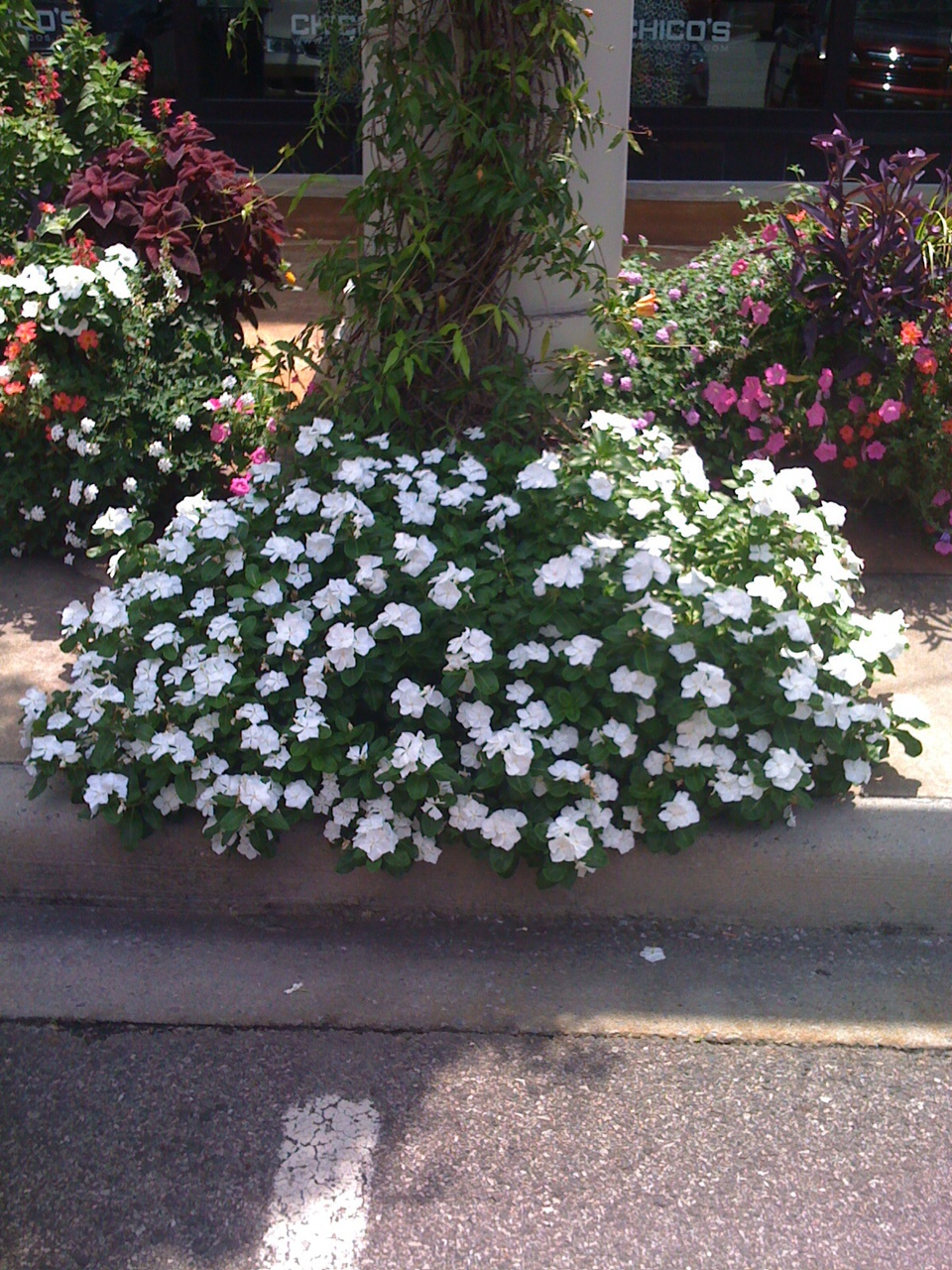 Vinca Cora White At Summit 2011 Barton S Greenhouse And